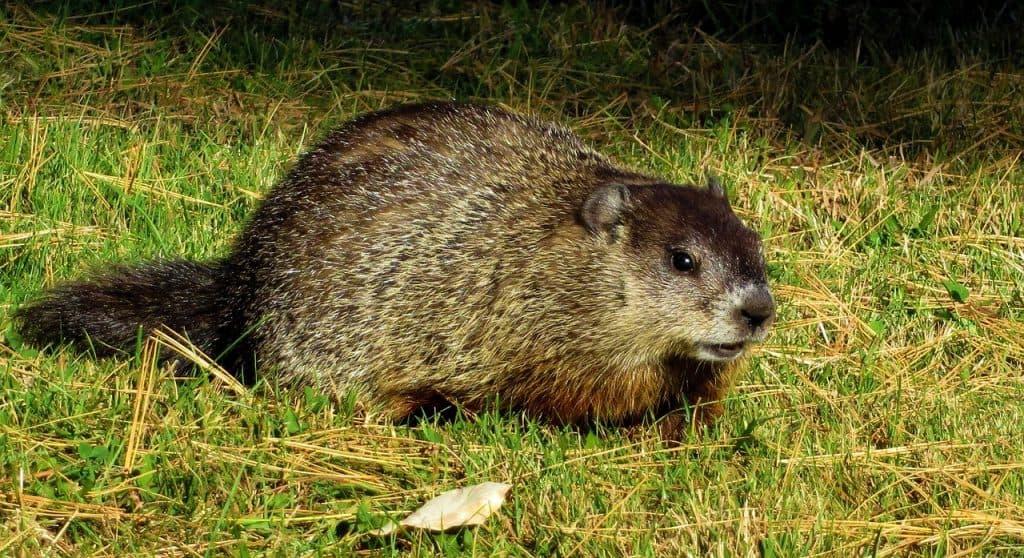 groundhog crouching
