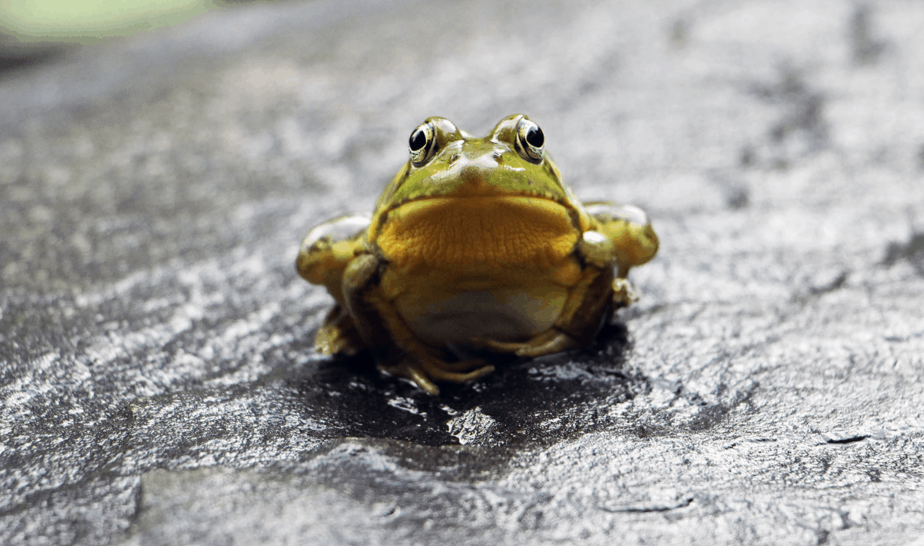 frog staring at photographer on a grey rock wondering how to get rid of frogs