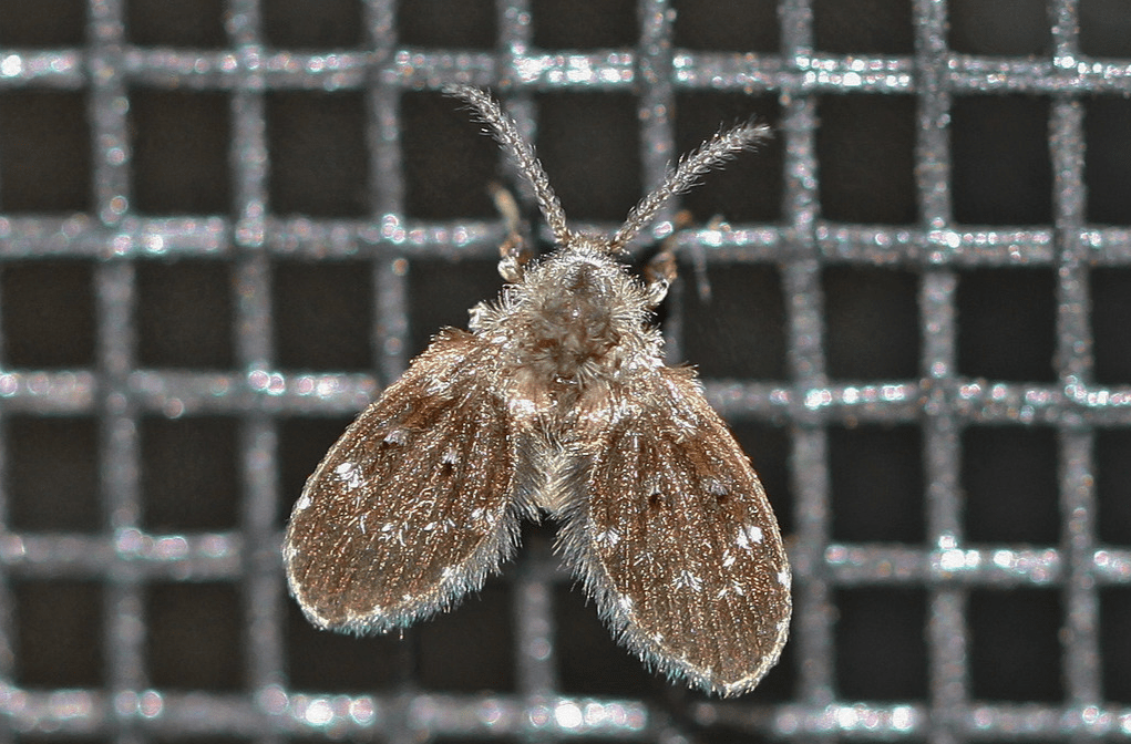 drain fly on a  drain grate showing short hairy body and round wings